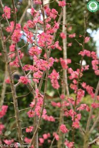 Rzadko spotykana w uprawie morela japońska 'Beni-chi-dori w tym roku zakwitła już w marcu.